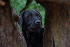 De zwarte hond Labrador kijkt in het bos tussen twee bomen royalty-vrije stock afbeeldingen
