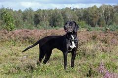 De zwarte hond van de catahoulaluipaard stock afbeeldingen