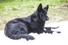 De zwarte hond van de Duitse herder Royalty-vrije Stock Foto