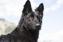 De zwarte hond van de Duitse herder Royalty-vrije Stock Afbeeldingen