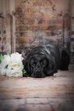 De zwarte hond van Labrador met bloem Royalty-vrije Stock Foto's