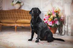 De zwarte hond van Labrador met bloem Royalty-vrije Stock Afbeeldingen