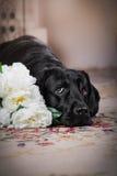 De zwarte hond van Labrador met bloem Stock Foto