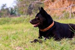 De zwarte honden zien vooruit eruit stock foto's