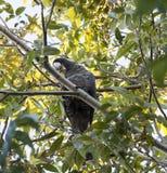 De Zwarte Kaketoe van Carnaby in de boom van de Pecannootnoot in vroege ochtend in de herfst stock afbeeldingen