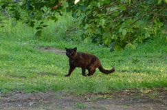 De zwarte kat jacht in zonsondergang stock foto