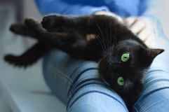 De zwarte kat ligt in de handen van het meisje stock foto