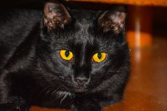 De zwarte kat met gele ogen die op houten vloer liggen royalty-vrije stock afbeelding