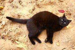 De zwarte kat met gezond glanzend bont legt op het zand Royalty-vrije Stock Foto's