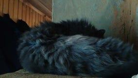De zwarte kat met groene ogen die de camera bekijken draait en likt dan poot stock videobeelden