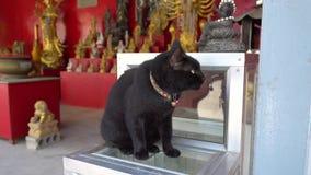 De zwarte kat staart in de afstand Groene ogen, gekleurde kragen en twee klokken stock video