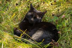 De zwarte katten zwarte kat ligt, slaap en ontspant in openlucht in het gras Stock Foto