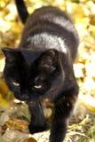 De zwarte kattenclose-up Stock Foto's