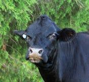 De zwarte koe Royalty-vrije Stock Afbeeldingen