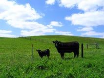 De zwarte koe van Angus en haar kalf Stock Afbeeldingen