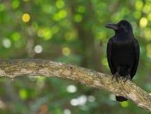 De zwarte kraai, leidt gedraaid in profiel, sterke bek, die op een tak zitten Royalty-vrije Stock Afbeelding