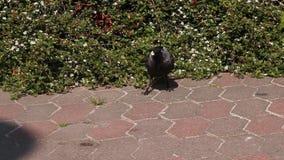 De zwarte kraai met blauwe ogen eet hazelnoot op asfalt Close-up stock footage