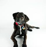 De zwarte Labradorstudio schoot witte achtergrond Royalty-vrije Stock Afbeelding