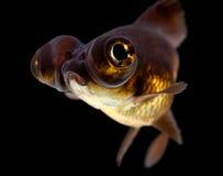 De zwarte legt goudvis vast Stock Foto
