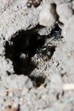 De zwarte Mier die het is Huis schoonmaakt Stock Afbeeldingen