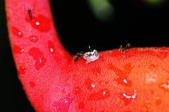 De zwarte mier duwt een suikerkubus op Heliconia Rostrata stock foto's