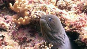 De zwarte Moray-paling vangt eet het voedsel van prooivissen onderwater op zeebedding in de Maldiven stock video