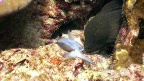 De zwarte Moray-paling vangt de vissen van het prooivoedsel onderwater op zeebedding in de Maldiven stock videobeelden