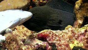 De zwarte Moray-paling vangt de vissen van het prooivoedsel onderwater op zeebedding in de Maldiven stock video
