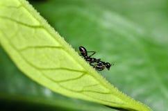 De zwarte Nimf van Bidsprinkhanen met groen blad Stock Fotografie
