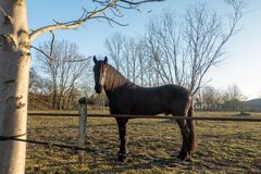 De zwarte paardentribune op een weide en onderzoekt de camera stock foto