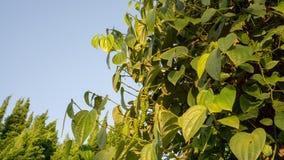 De zwarte peper is een klimmerwijnstok in Piperaceae-familie, de installatie van groenbladeren op blauwe hemel stock afbeeldingen