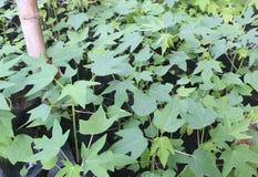 De Zwarte plastic zakken van papajazaailingen Royalty-vrije Stock Foto