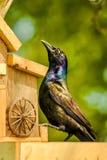 De Zwarte Prins van de Vogelvoeder Stock Fotografie