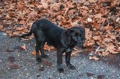 De zwarte puppyherfst Royalty-vrije Stock Foto's