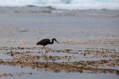 De zwarte Reiger bij het overzees jaagt at low tide Royalty-vrije Stock Foto