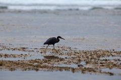 De zwarte Reiger bij het overzees jaagt at low tide stock afbeelding