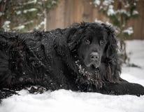 De zwarte reuzehond die van rassennewfoundland in sneeuw leggen royalty-vrije stock foto's