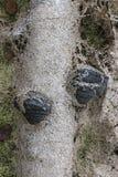 De zwarte rotte in het moeras polypore op de boomstam van een berk Het Gebied van Arkhangelsk Russische Federatie stock afbeelding
