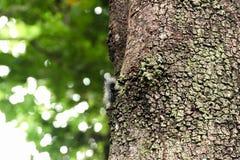 De zwarte rupsband met witte harig probeert op de boom beklimmen om aan de jagersvogel te ontsnappen Stock Fotografie