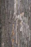 De zwarte schors van de populierboom Stock Fotografie