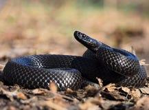 De zwarte slang bij bos bij de bladeren krulde omhoog in bal vi Royalty-vrije Stock Afbeelding