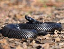 De zwarte slang bij het bos bij bladeren krulde omhoog in bal vi Royalty-vrije Stock Foto