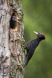 De Zwarte Specht, Dryocopus-martius die zijn kuikens voeden alvorens zij de eerste vlucht uit zullen hebben Het nestelen de holte stock afbeeldingen