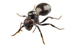 De zwarte species Lasius Niger van de tuinmier Stock Afbeelding