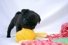 De zwarte spelen van puppymopsa Stock Foto's