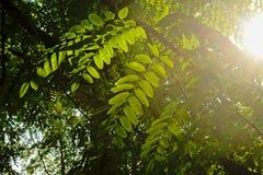 De zwarte sprinkhaan doorbladert in de avond lichte Robinia stock foto's