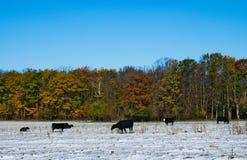 De zwarte stieren van het slachtveekoeien van Angus op sneeuw behandeld de herfstweiland stock afbeeldingen