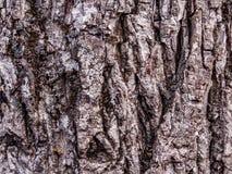 De zwarte textuur van de nootboom Stock Foto's