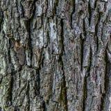De zwarte textuur van de nootboom Royalty-vrije Stock Afbeeldingen