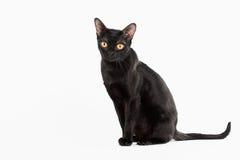 De zwarte traditionele kat van Bombay op witte achtergrond Royalty-vrije Stock Fotografie